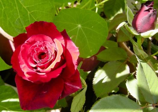 2020 Rose 2